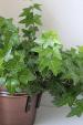 English Ivy Plant