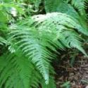 Fern House Plant Fronds