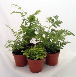 Fern plants for terrarium