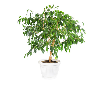 Ficus Flower Flowers Ideas For Review