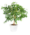 Ficus Tree, House Plant Care