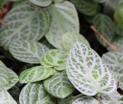 House plant Fittonia albivenis