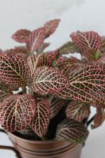 Fittonia Plant