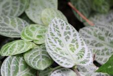 Fittonia albivenis plant