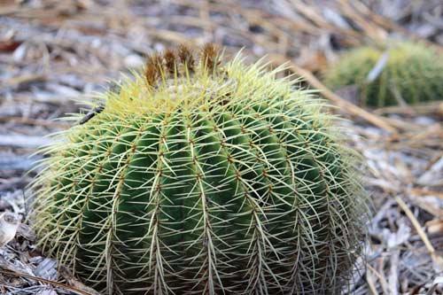 Picture of Golden Barrel Cactus Plant