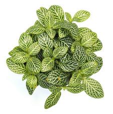 Fittonia Plant Care