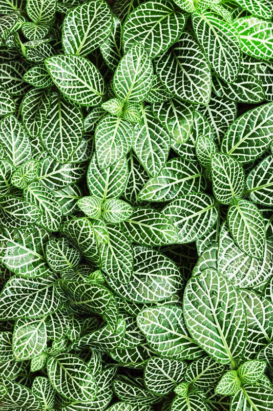 Fittonia Plant Care House Plants And Flowers