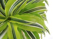 Dracaena warneckii house plant