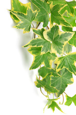 Variegated Ivy Plant Leaves