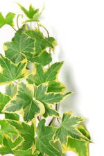 Variegated House Plant Leaves