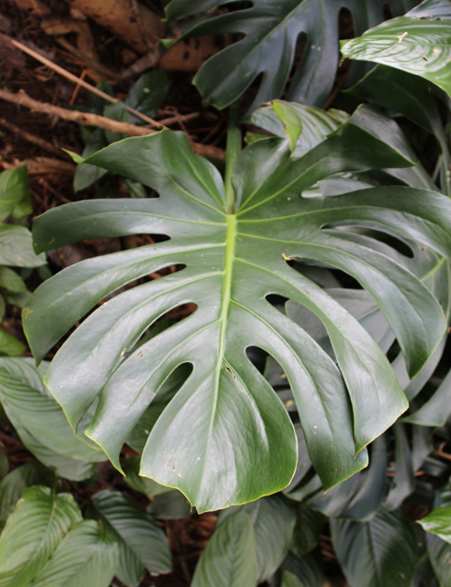 Picture of Split Leaf Philodendron Plant