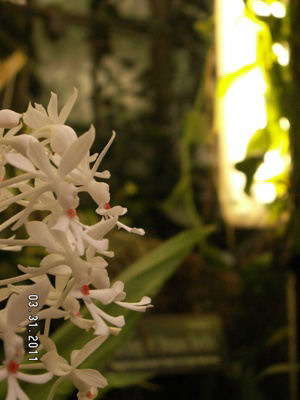 Small White Orchid Flowers