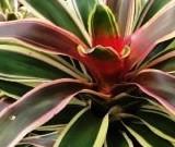 Neoregelia bromeliad plant