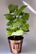 Nephthytis House Plant