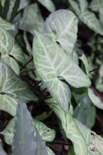 Nepthytis Plant