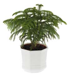 Norfolk Island Pine House Plant Care Plants and Flowers