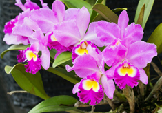 Orchid Plant Cattleya Orchid with Purple Flowers