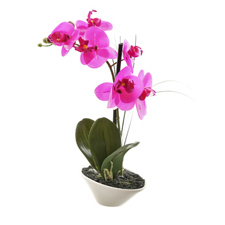 Orchid Plant, Phalaenopsis Orchid Flowers