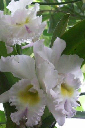 White Cattleya Orchid Flowers