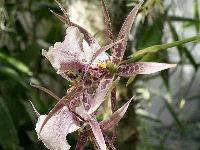 USBG Tiger Orchids