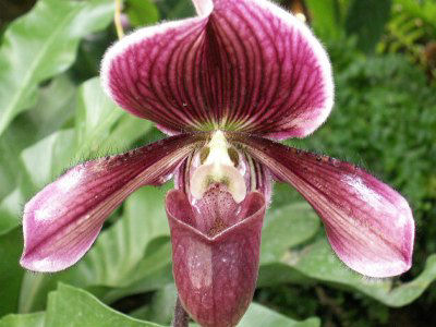 Picture of Purple Slipper Orchid Flower