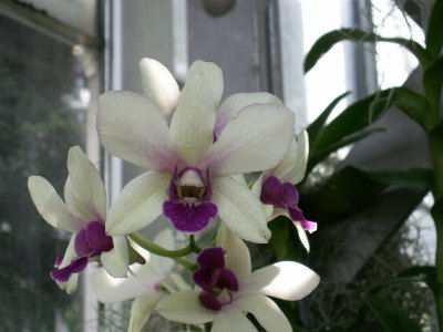 Purple on White Moth Orchid