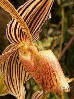 Striped Slipper Orchid