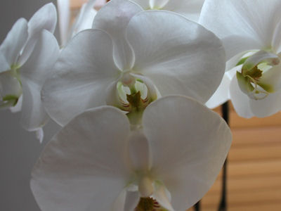 Picture of Four White Moth Orchid Flowers