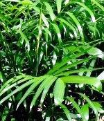 Bamboo Palm Chamaedorea