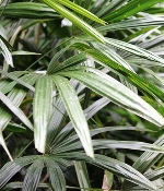 Palm Plant Fronds Rhapis Excelsa