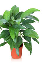 Peace Lily Care Of House Plant