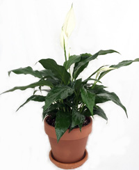 buy Peace lily plant