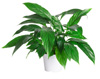 Peace Lily Indoor Plant and Care