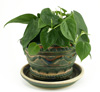 Philodendron Cordatum - Desk Plant for No Sunlight