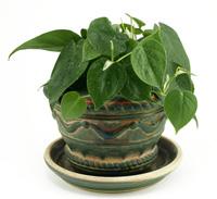 Philodendron Cordatum Plant Care