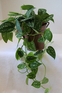 Silver Philodendron Plant Care