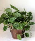 Silver Philodendron Plant