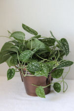 Philodendron Silver Plant