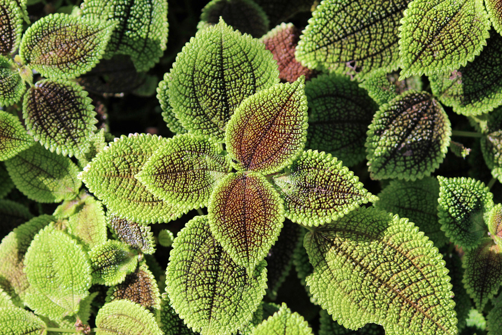 pilea-inaequalis1500x1000 Codiaeum Plant House on croton plant, codiaeum revolutions plant, codiaeum variegatum plant,