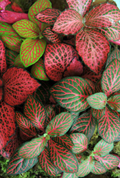 Pink Fittonia - Painted Net Leaf Plant