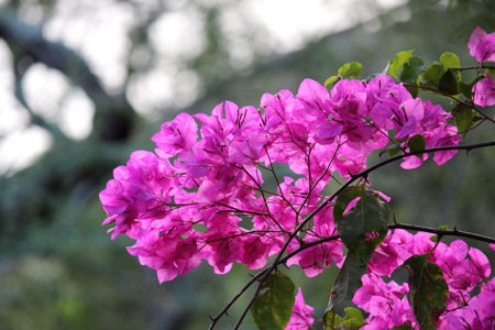 Pink Flowering Bougainvillea