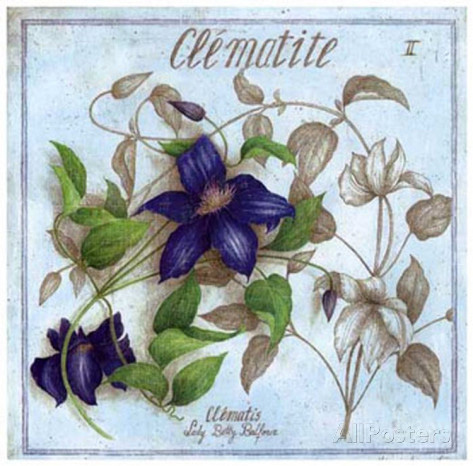 Plant Flower Botanical Poster, Clematis, Clematite by Artist Vincent Jeannerot
