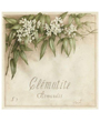 Plant Flower Poster White Clematis, Clematite, Vincent Perriol
