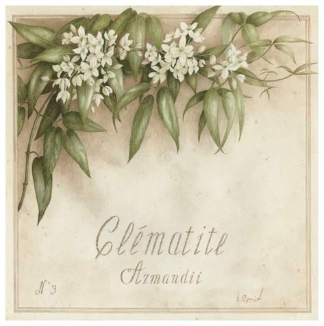 Plant Flower Botanical Poster, White Clematis, Clematite by Artist Vincent Perriol