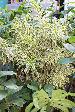 Pleomele Plant Picture