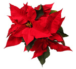 Poinsettia Plant Flowers