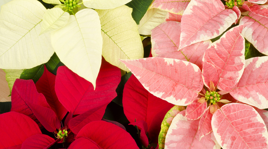 Care For Poinsettia Flowers Plants