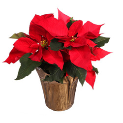 Poinsettia House Plant And Flower Care