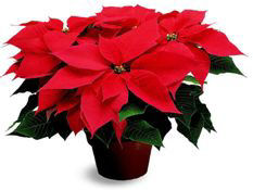 Poinsettia Plant Flower