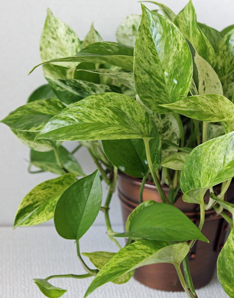 Pothos Plant Care House Plants Amp Flowers